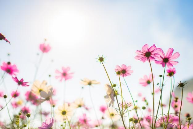 langage des fleurs prairie champ fleur rose