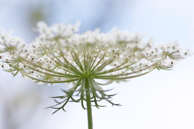 bijou végétal bijoux fleurs lanaflore résine d'inclusion fleur naturelle bague nature cadeau femme collier-argent 925 fleurs de carotte sauvage