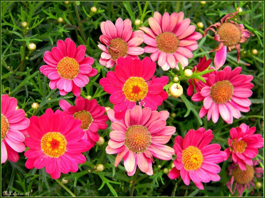 bijou végétal bijoux fleurs lanaflore résine d'inclusion fleur naturelle bague nature cadeau femme collier-argent 925 anthemis rose
